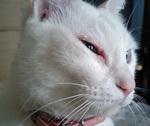 シッポナさん目の炎症